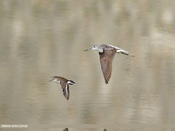 Common Greenshank (Tringa nebularia) & Common Sandpiper (Actitis hypoleucos) - Free image #464309