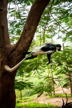 Colobus Monkey Leaping - Kostenloses image #464319