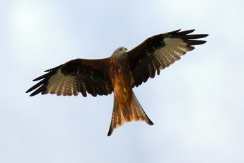 Red Kite - Free image #464499