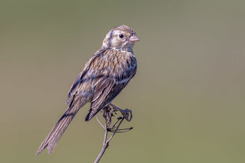 Brewer's Sparrow - Free image #464929