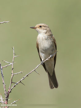 Spotted Flycatcher (Muscicapa striata) - Free image #464979