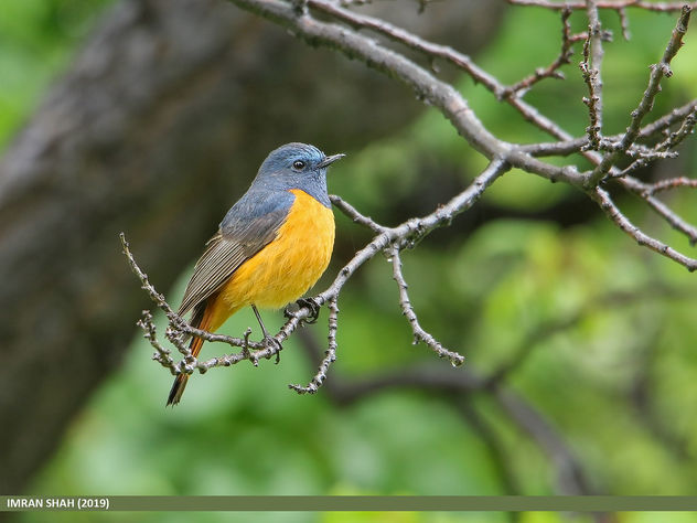Blue-fronted Redstart (Phoenicurus frontalis) - image gratuit #465149