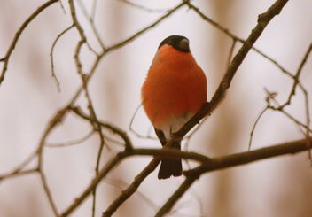 The Bullfinch on the branch - image gratuit #465349