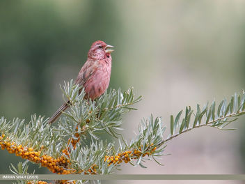 Red-Mantled Rosefinch (Carpodacus rhodochlamys) - image gratuit #465579