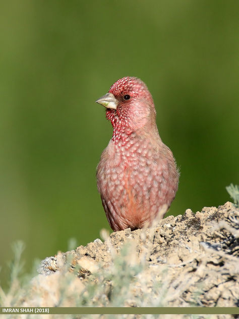 Great Rosefinch (Carpodacus rubicilla) - Free image #465829
