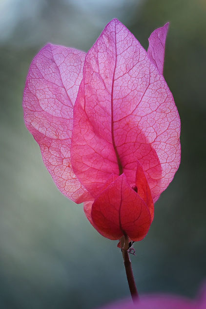 Pink leaves - Free image #465849