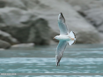 Black-headed Gull (Chroicocephalus ridibundus) - image #466299 gratis