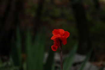 red flower - Free image #466409