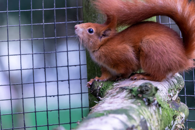 Red Squirrel - Free image #466959