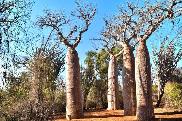Spiny Forest Baobabs - бесплатный image #467109