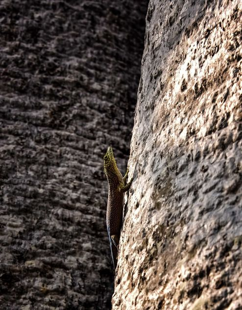 Baobab and Standing's Day Gecko - бесплатный image #467129