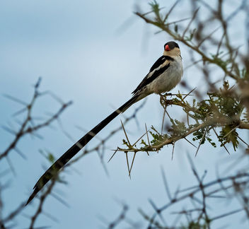 Pin-tailed Whydah - Kostenloses image #467539