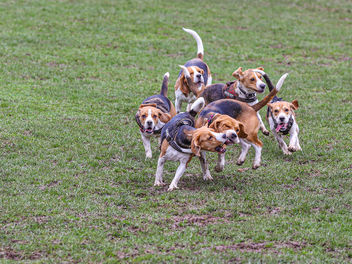 Beagles at play - image gratuit #467899