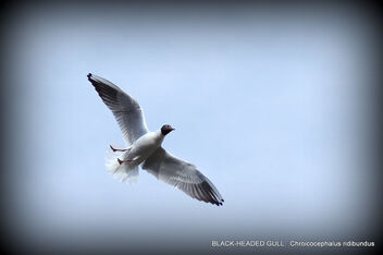 BLACK-HEADED GULL: Chroicocephalus ridibundus - image gratuit #469019