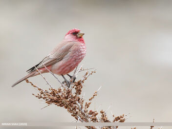 Great Rosefinch (Carpodacus rubicilla) - Free image #469219