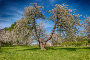 Old Cherry Tree - image #469799 gratis
