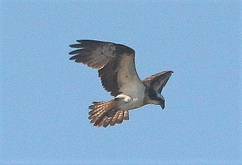 The osprey - image #470119 gratis