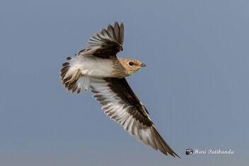 A Small Pratincole Turning in Flight over a lake - image #470819 gratis