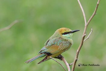 A Chubby Bee Eater on a perch - image #471919 gratis