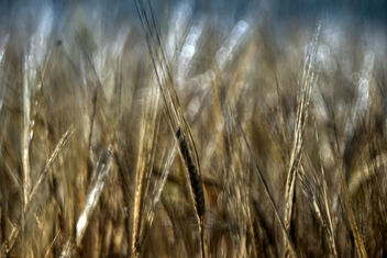 The wheat days. - image #472129 gratis