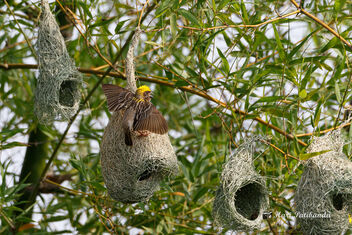Baya Weavers competing for the female's attention - image #472209 gratis