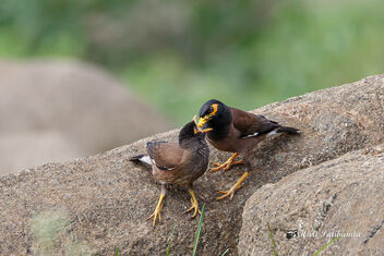 Still have to feed the little Baby - Myna - image #472359 gratis