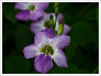 Asystasia gangetica or Chinese violet - Kostenloses image #472489