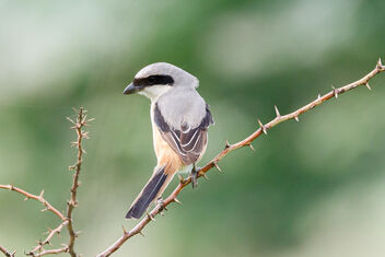 A Long Tailed Shrike on a thorny Perch - image #472539 gratis
