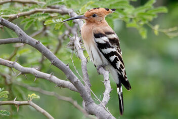 A Eurasian Hoopoe - surprise visitor - Free image #472549