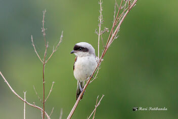 A Young Juvenile Long Tailed Shrike - image #472709 gratis