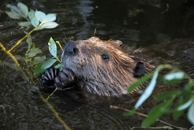 Happy young beaver in wilderness - image #473029 gratis