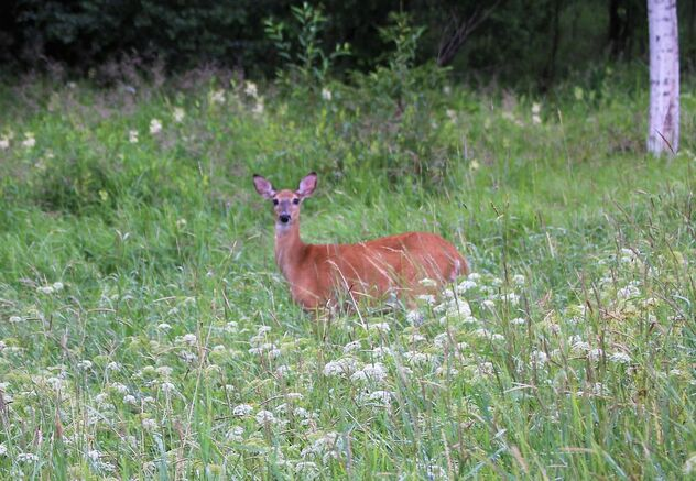 White-tailed deer in meadow - image gratuit #473379