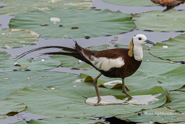 A Pheasant Tailed Jacana Walking on Lotus Leaves - image #473429 gratis