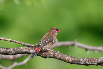 A Strawberry Finch during the golden light in the morning - image gratuit #473509