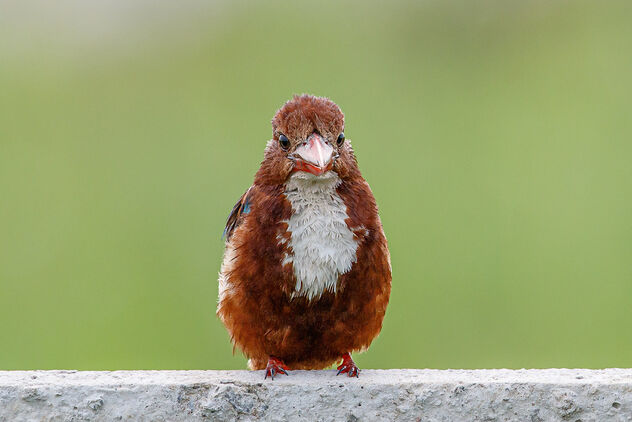 A Portrait of a White Throated Kingfisher - Kostenloses image #473529
