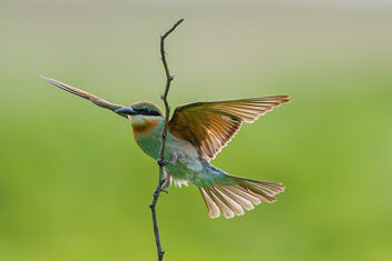 A Blue Tailed Bee Eater returning after failing to catch a Bee - image gratuit #473579