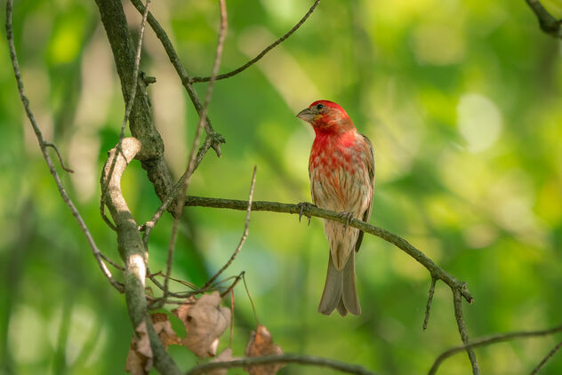 House Finch in Tree - Kostenloses image #473599