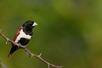 A Blacked Headed Finch enjoying the weather - image gratuit #473639