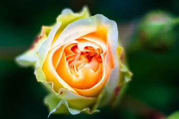 the rose - image #473659 gratis