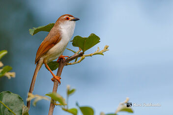An Yellow Eyed Babbler against the rain clouds - image #474519 gratis