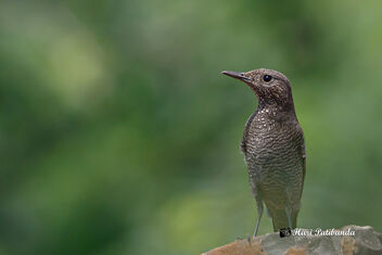 A Female Blue Rock Thrush Surveying the area - image #475129 gratis