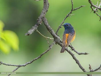 Blue-fronted Redstart (Phoenicurus frontalis) - Free image #475739