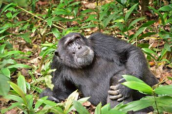 Chimp in the Wild - image gratuit #475749