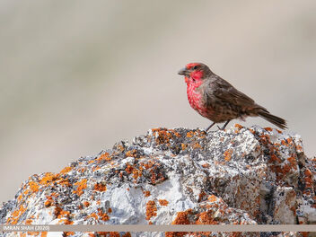 Red-fronted Rosefinch (Carpodacus puniceus) - image gratuit #475779