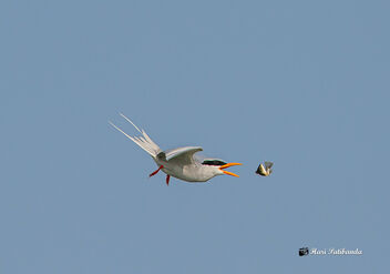 A River Tern losing its catch - image gratuit #475849