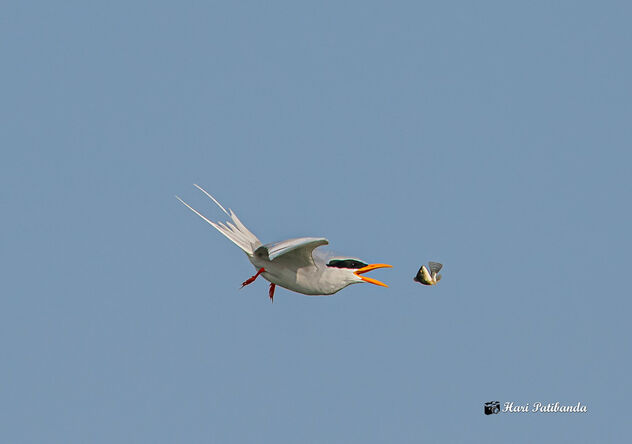A River Tern losing its catch - image #475849 gratis