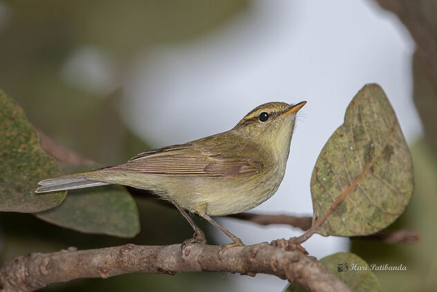 A Very Tiny Green(Ish) Warbler in the canopy - Free image #476569