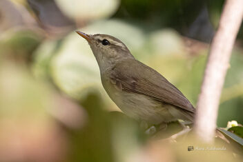 A New Sighting for me - Hume's Warbler - Free image #477629