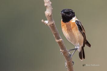 A Playful Siberian Stonechat enjoying a gentle Breeze - Free image #477689