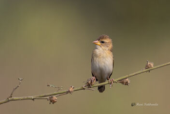 A Juvenile Baya Weaver enjoying the morning sun - image #477769 gratis